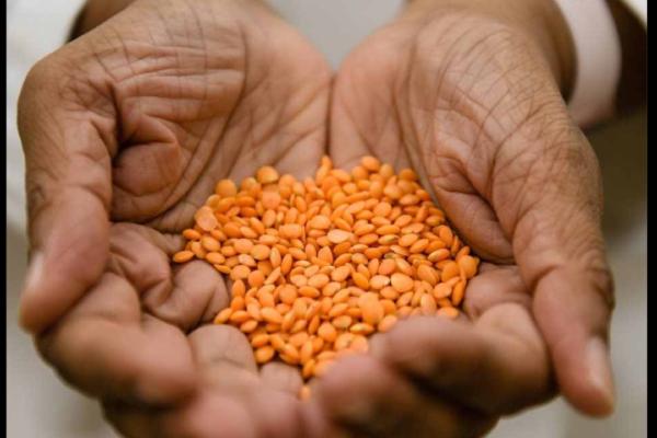 Lentils in hands